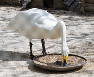 Swan eating food Stock Photos