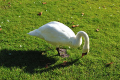 Swan eating grass Royalty Free Stock Photography