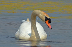 Swan eating kelp. Wild swan eating kelp on the marsh surface Stock Photos