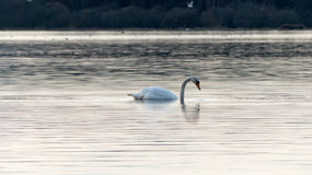 Swan eating on the lake Stock Image