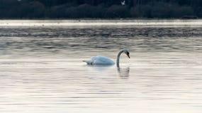 Swan eating on the lake stock image