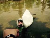 Swan eating Stock Photography