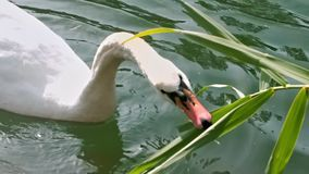 Swan eating reed leaves stock video