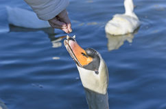 Swan eating some bread Stock Photo
