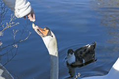 Swan eating some bread from hand Royalty Free Stock Image