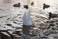 The swan eats from the bottom of the river Stock Photography