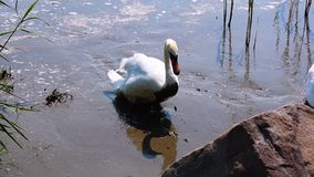 Swan on the edge of the lake. Swan in the mud stepping on the edge of the lake stock footage