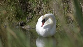 Swan on the edge of the pond, in the foreground blurred grass stock video footage
