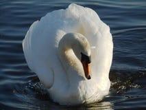Swan in een rivier Royalty-vrije Stock Foto's