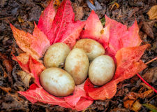 Swan eggs in nest made of fallen leaves Stock Images