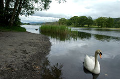 Swan on Elter Water. In Lake Districk Royalty Free Stock Photography