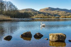 A swan on Elterwater with hills in the background and a row of rocks in the foreground Stock Image