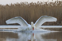 Swan emerges from water Stock Photos