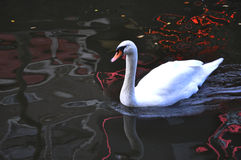 Swan. Enjoying in the water Stock Images