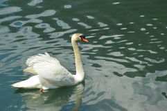 Swan  in Eriste, june Royalty Free Stock Photo