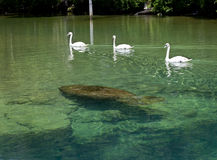 Swan Escort Manatee - Homosassa Springs Royalty Free Stock Images