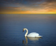 Swan in evening light Royalty Free Stock Photos