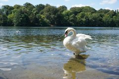 The Swan Song Beauty by the Lake. royalty free stock photo