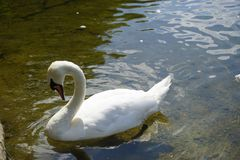 The Swan Song Beauty by the Lake. Swan Expression of beauty, using its familiar environment to the fullest and displaying the secrets of its existence royalty free stock images