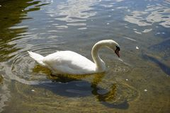 The Swan Song Beauty by the Lake. Swan Expression of beauty, using its familiar environment to the fullest and displaying the secrets of its existence stock photography
