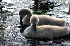swan för 2 fågelungar Fotografering för Bildbyråer