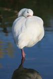 swan för ben ett Royaltyfri Foto
