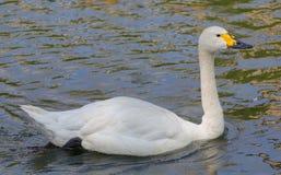 swan för bewick s Arkivbild