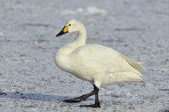 swan för bewickbewickiicygnus s arkivfoto