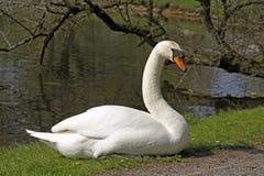 swan för olor för H för ckerschwan cygnus stum royaltyfri bild