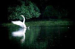 swan för skoglakesegling arkivfoton