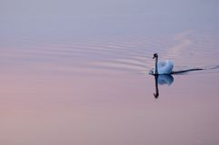 swan för solnedgång 7793 Arkivfoton