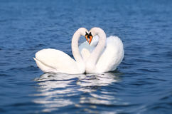 Swan Fall in Love, Birds Couple Kiss, Two Animal Heart Shape. Blue lake water Royalty Free Stock Images