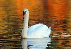 Swan in Fall Stock Photo