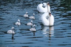 Swan famely Stock Image