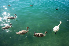Swan familiy at lake zurich in switzerland Royalty Free Stock Photo