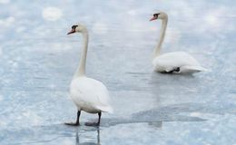 swan-familiy in winter on the ice lake royalty free stock photo
