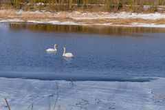 Swan-familiy in winter on the lake stock photo