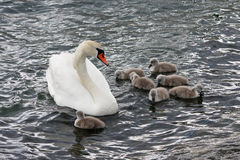 Swan family. Beautiful swan with chicks in the water royalty free stock image