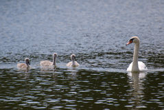 Swan family. Mother swan wit her three litlle swans Stock Photos
