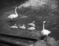 Swan family. In a Zoo. Cygnus Royalty Free Stock Image