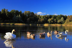 Swan family. Swans on an autumn pond with the adult nestlings Stock Image
