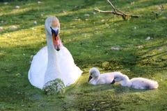 Swan family Royalty Free Stock Photo