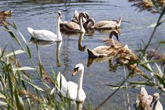 Swan family Royalty Free Stock Images