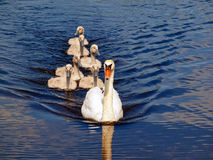 Swan family Stock Image