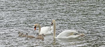 Swans. Swan Family swim together. Mother and father Swan keep their new babies, known as cygnus Stock Photos