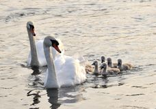 Swan family Royalty Free Stock Image
