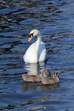 Swan with family Royalty Free Stock Image