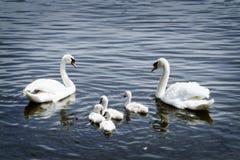 Free Swan Family Stock Image - 31060401