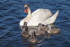 Swan Family. Royalty Free Stock Image