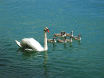 Swan family. A swimming swan family in a lake Royalty Free Stock Photos